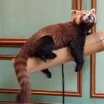 Panda roux, 14 300 euros.